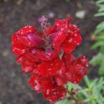 Flores do Canada